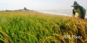 Ilustrasi petani memanen padi. (JIBI/Solopos/Antara/Dedhez Anggara)