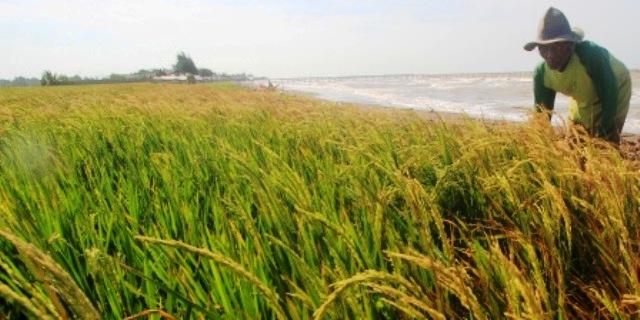 Petani Panen Raya, Kementan Ungkap Peluang Ekspor Beras ke Sejumlah Negara Ini