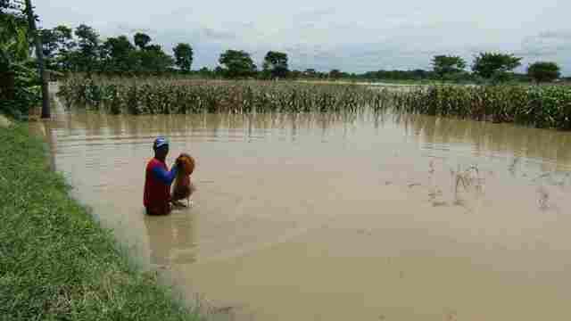 BANJIR SRAGEN : 25 Hektare Padi Desa Bentak Terendam, Panen Hanya 50%