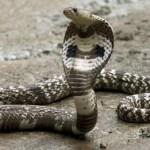 Horor Teror Belasan Ular Kobra di Gunungkidul, Menyusup di Kamar Mandi