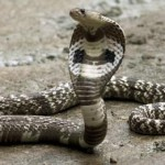 Ular kobra (Newsweek)