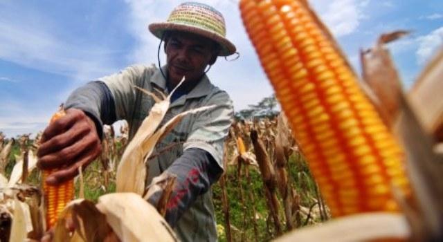 FOTO PERTANIAN SEMARANG : Kaliwungu Sukses Panen Jagung