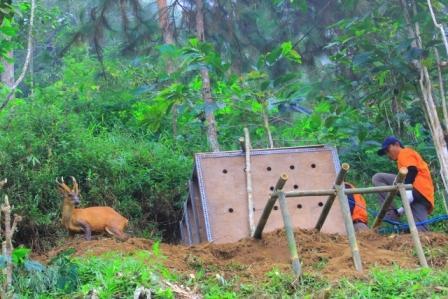 Petugas dari BBKSDA Jawa Timur mengeluarkan empat ekor kijang dari kandang di hutan cagar alam Gunung Picis, Ponorogo, Kamis (15/12/2016). (Abdul Jalil/JIBI/Madiunpos.com)