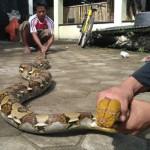 SATWA LIAR : Ular Sanca Ditemukan, Ini Saran Pemerhati Reptil