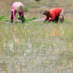 Pemerintah Pangkas Kuota Pupuk Bersubsidi, Petani Kabupaten Madiun Resah