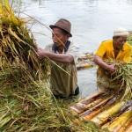 FOTO BANJIR DEMAK : Padi Kebanjiran Dipanen Dini