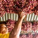 FOTO PERTANIAN JATENG : Petani Hindari Tanam Bawang Merah