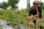 PERTANIAN BANTUL : Terus Dirundung Malang, Giliran Lahan Tomat Diserang Ulat