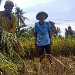 HARGA GABAH : Bulog Bantah Harga Gabah di Tingkat Petani Anjlok