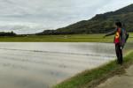 PERTANIAN BANTUL : Petani Bawang Merah Pasrah Lahan Terendam Banjir