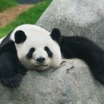 TAHUKAH ANDA ? : Terungkap, Kenapa Panda Berwarna Hitam Putih?