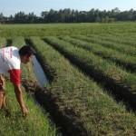 PERTANIAN BANTUL : Panen Bawang Merah Diprediksi Tak Maksimal