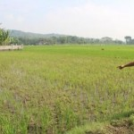 PERTANIAN KLATEN : 50 Hektare Sawah Diserang Wereng, Petani di Wiro Rugi Rp1 Miliar
