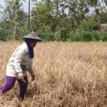 PERTANIAN KLATEN : Duh! 311 Ha Sawah di 19 Kecamatan Diserang Wereng