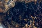 Kelelawar merupakan salah satu hewan yang bisa dimasak dan menjadi salah satu makanan ekstrem.  (istimewa/mongabay.co.id)