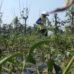 KOMODITAS PANGAN : Program Penanaman di Kebun Warga Rugikan Petani