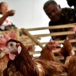 FOTO HARGA KEBUTUHAN POKOK : Harga Ayam Potong Ambarawa Naik