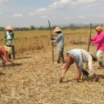 PERTANIAN KLATEN : Harga Anjlok, Petani Berharap Bulog Bersedia Serap Kedelai