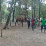 WISATA SOLO : TSTJ Dapat Tambahan Sepasang Unta Berpunuk Satu dari Taman Safari