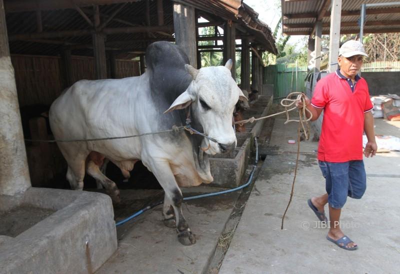 IDULADHA 2017 : Ini Sapi Kurban yang Dibeli Presiden Jokowi dari Peternak Sukoharjo