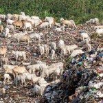Sapi-sapi penghuni TPA Jatibarang, Semarang, Jateng, Senin (14/8/2017), mencari makan di antara tumpukan sampah. (JIBI/Solopos/Antara/Aji Styawan)