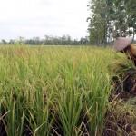 PERTANIAN SRAGEN : Jelang Penutupan Dam Colo, Petani Toyogo Pilih Panen Dini