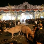 Kebo bule mulai diarak keluar dari depan Kompeks Keraton Kasunanan Surakarta, jelang Kirab Malam 1 Sura, Kamis (21/9/2017) malam. (Ahmad Baihaqi/JIBI/Solopos)