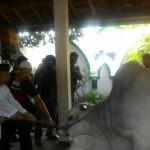 IDULADHA 2017 : 2 Ekor Sapi Presiden Jokowi Nyaris 1 Ton, Disembelih di 2 Masjid Solo