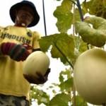Grobogan Sentra Produksi Melon di Jateng