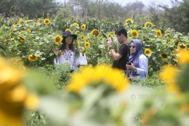 Cantiknya Taman Bunga Matahari Di Pantai Samas Warga Berdatangan Untuk Foto Foto