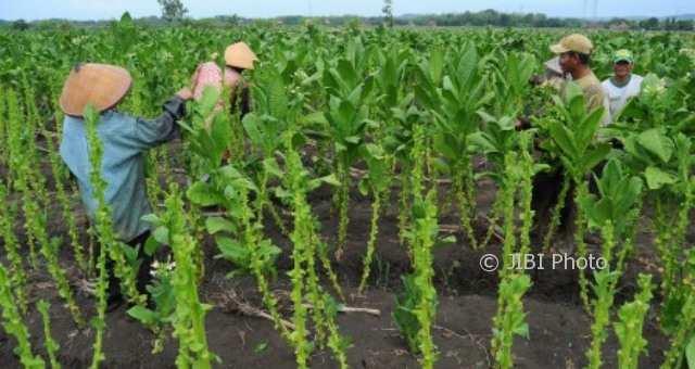Petani di 6 Kecamatan Karanganyar Tanam Tembakau, Ini Keuntungan Mereka