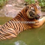 KEANEKARAGAMAN HAYATI : Begini Cara Dunia Menyelamatkan Populasi Harimau