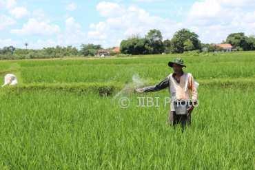 Seorang petani di Desa Glagahwangi, Kecamatan Polanharjo, Klaten, menebar pupuk di lahan pertaniannya pekan lalu. (Taufiq Sidik Prakoso/JIBI/SOLOPOS)