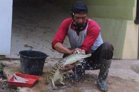 Kisah Pawang Buaya Jurug Solo Zoo, Perlakukan Hewan Seperti Anak Sendiri