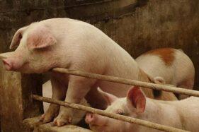 Ilustrasi peternakan babi. (Reuters)