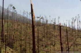 Sejumlah pohon pinus berukuran kecil di kawasan Gunung Merbabu, Kabupaten Magelang patah batang karena diterjang angin kencang, Rabu (23/10-2019). (Antara-Heru Suyitno)