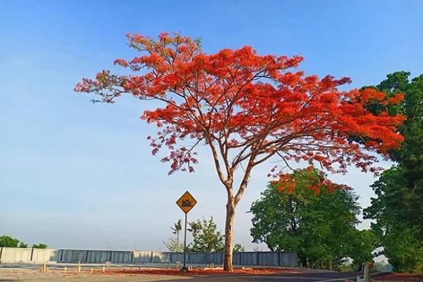 Pohon Berdaun Merah di Mojogedang Karanganyar Mendadak Viral