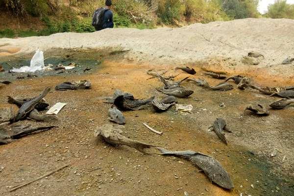 Bangkai ikan tergeletak di tepi Sungai Bengawan Solo, di Dukuh Nglombo, Desa Tenggak, Sidoharjo, Sragen, Senin (4/11/2019). (Solopos-Moh. Khodiq Duhri)