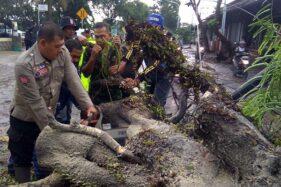 Purwokerto-Cilacap Teradang Pohon Tumbang