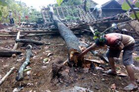 Hujan Deras di Madiun, 3 Rumah dan 1 Kandang Sapi Tertimpa Pohon