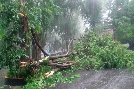 Ilustrasi pohon tumbang. (Istimewa)