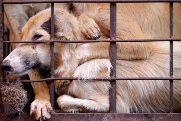 DMFI Sesalkan Sikap Pemkot Solo Masih Beri Toleransi Perdagangan Daging Anjing