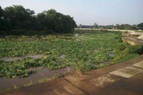 Sungai Bengawan Solo di wilayah Solo menghijau karena eceng gondok, Sabtu (7/12/2019) pagi. (Istimewa)