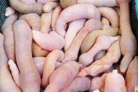 Namanya Ikan Penis, Jadi Makanan di Korsel & Rasanya Gurih