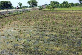 342 Hektare Sawah di Sragen Diserang Tikus, Paling Banyak di Gondang