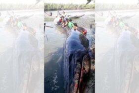 Paus Terdampar di Sungai, Nelayan Cilacap Gotong-Royong Kembalikan ke Laut