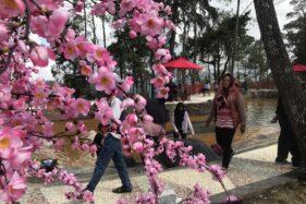 Bunga sakura mekar di tempat wisata kawasan Cemara Kandang, Tawangmangu, Karanganyar, Sabtu (21/12/2019). (Solopos-Candra Mantovani)