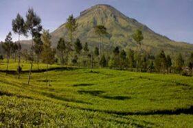 Kebun Teh Tambi di Desa Tambi, Kecamatan Kejajar, Kabupaten Wonosobo, Jateng. (Perpus.jatengprov.go.id)
