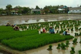 Petani memanen bibit tanaman padi untuk memulai musim tanam. (Antara-Akhmad Nazaruddin Lathif)