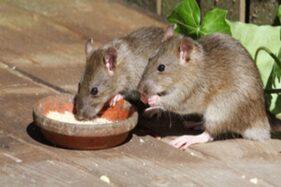 Peringatan! Warga Colomadu Karanganyar Dilarang Buang Bangkai Tikus di Jalan